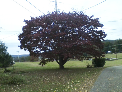 Photo of a Red Leaved Tree:
